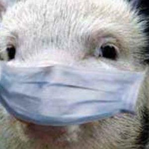 О мерах по недопущению африканской чумы свиней