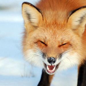 Случаи бешенства  среди животных на территории Сморгонского района